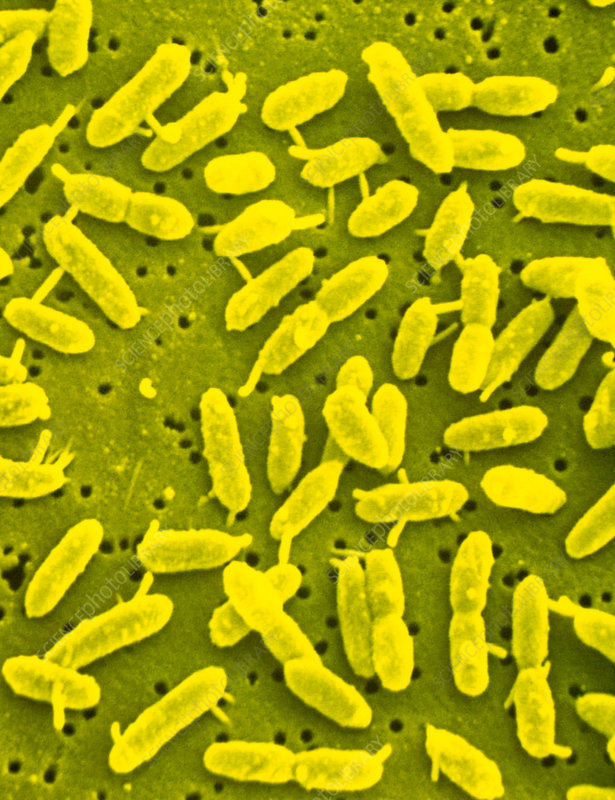 acidophile bacteria Acidophilic micro-organisms inhabit some of the most metal-rich environments known, including both natural and man-made ecosystems, and as such are ideal model.