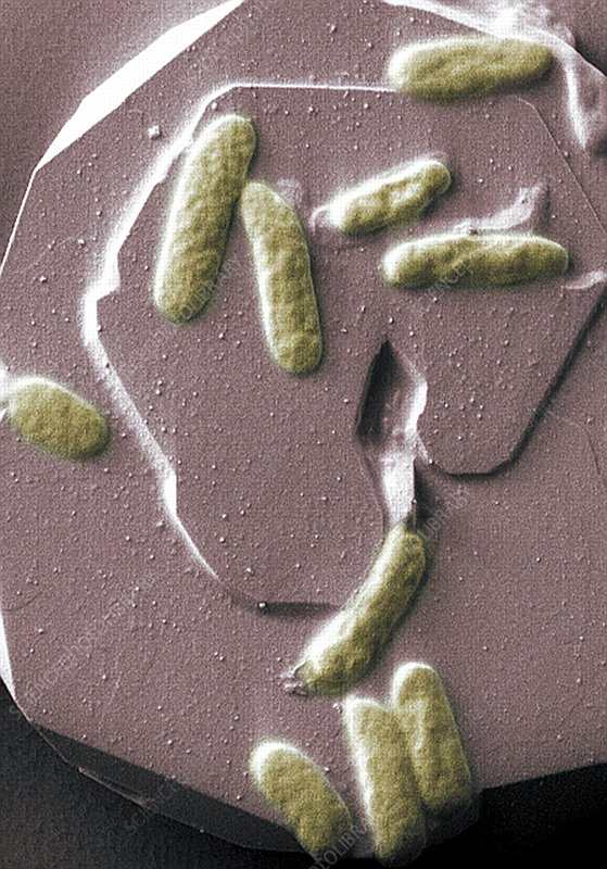 Metal-reducing bacteria, SEM