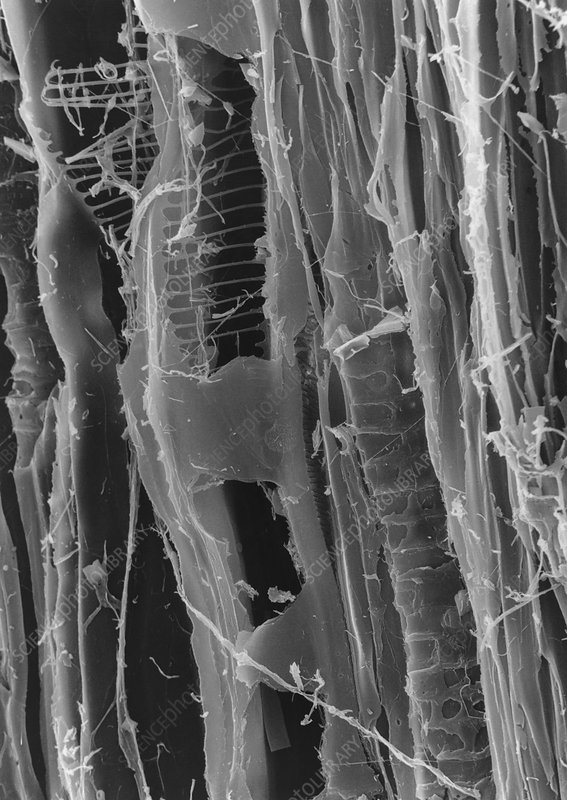 SEM of dry rot in plywood