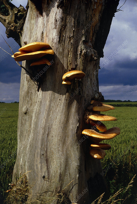 Bracket fungus growing on a tree trunk