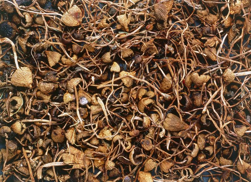 Dried hallucinogenic mushrooms - Stock Image - B250/0569