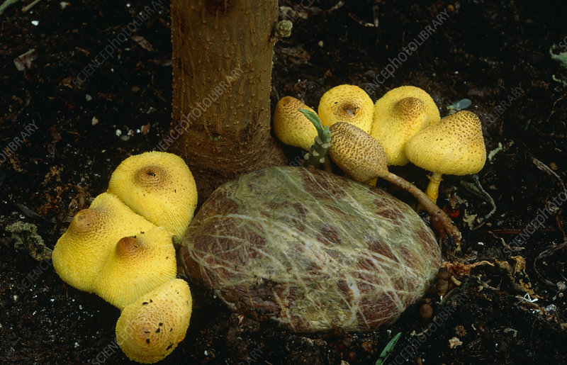 Yellow toadstools