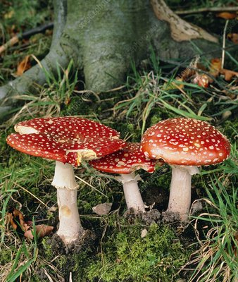 Fly agaric mushrooms in wood