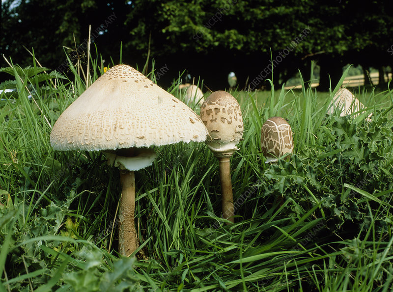 Parasol mushrooms, Lepiota procera