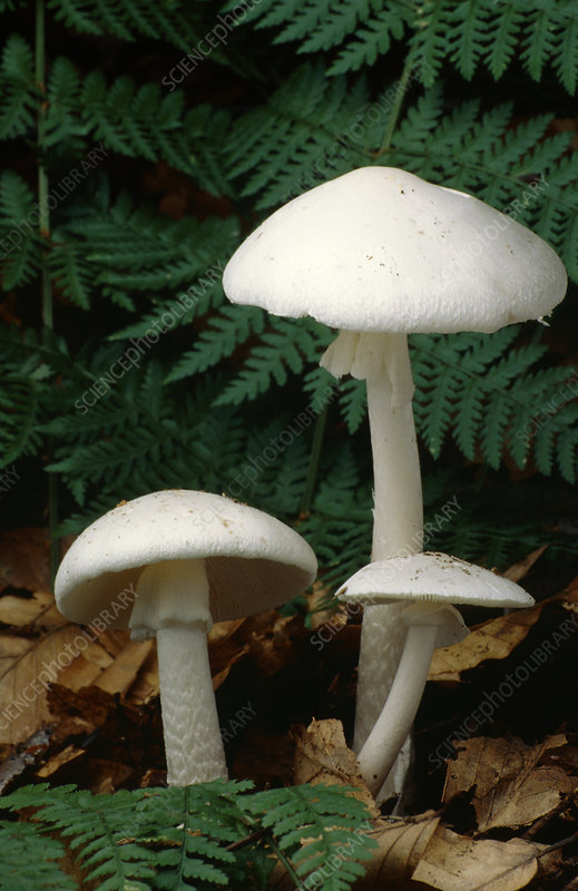 Angel mushrooms, Amanita virosa