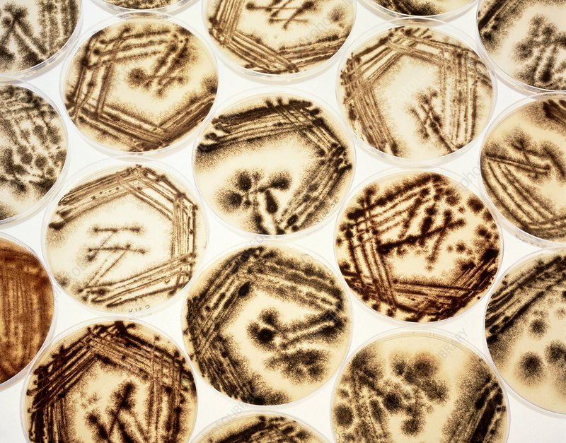 Petri dishes with Aspergillus cultures