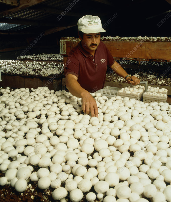 Edible mushrooms, Agaricus, harvested