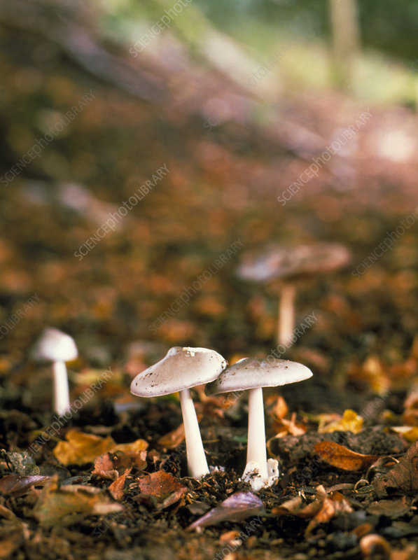 Agaric mushrooms