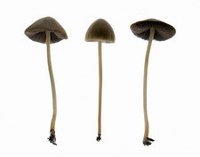 Conocybe tenera mushrooms