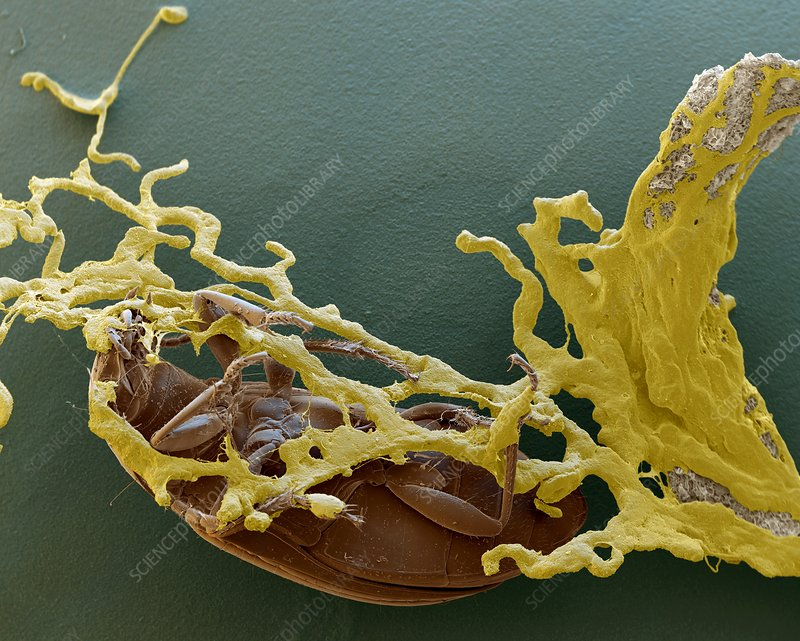 Slime mould and beetle, SEM