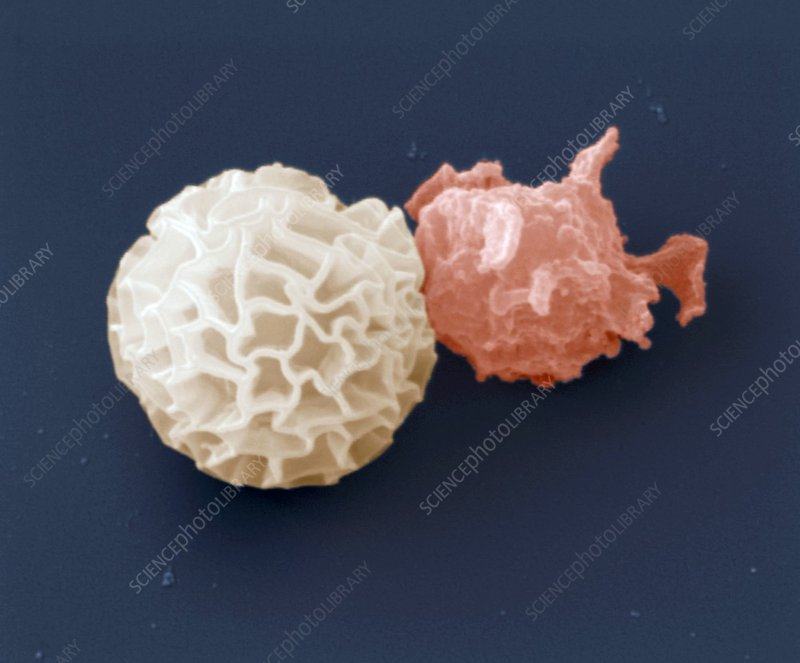 Slime mould germination, SEM
