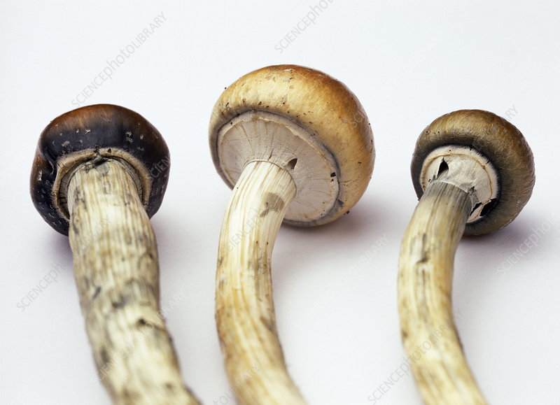 Magic mushrooms - Stock Image - B250/1094 - Science Photo