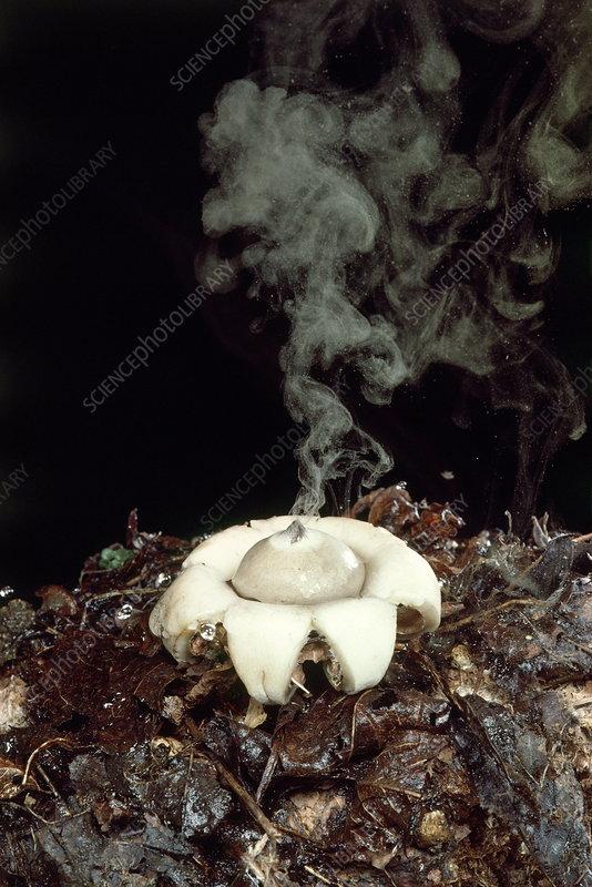 Earth star mushroom - Stock Image - B250/1097 - Science