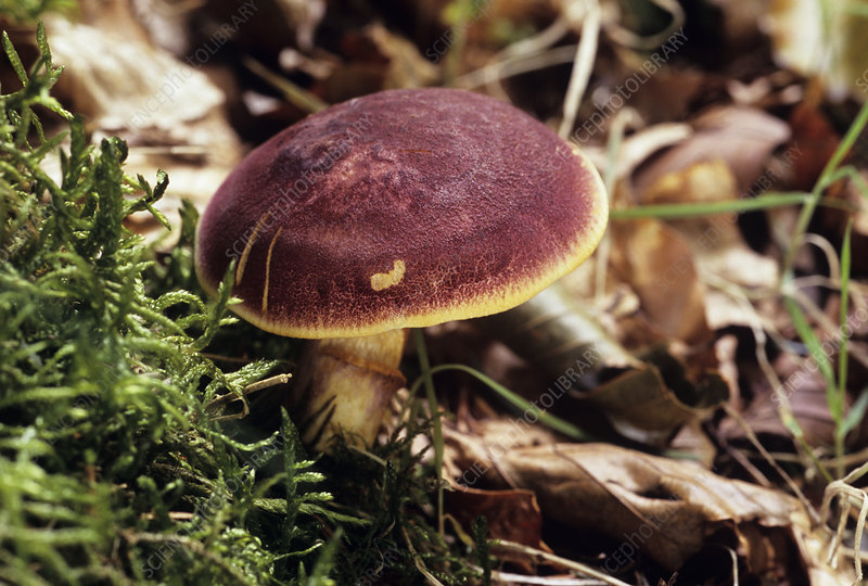 Plum and custard mushroom