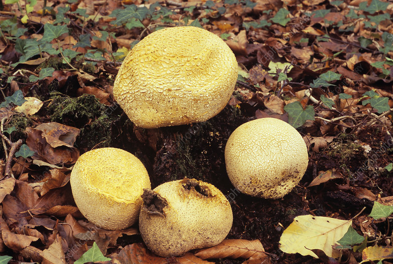 Common earthball fungi