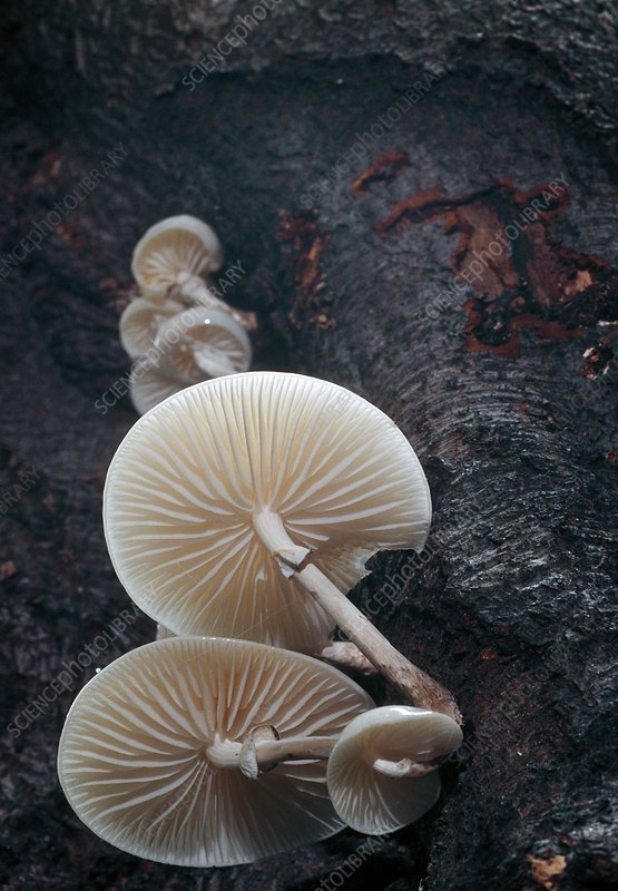 Porcelain mushrooms