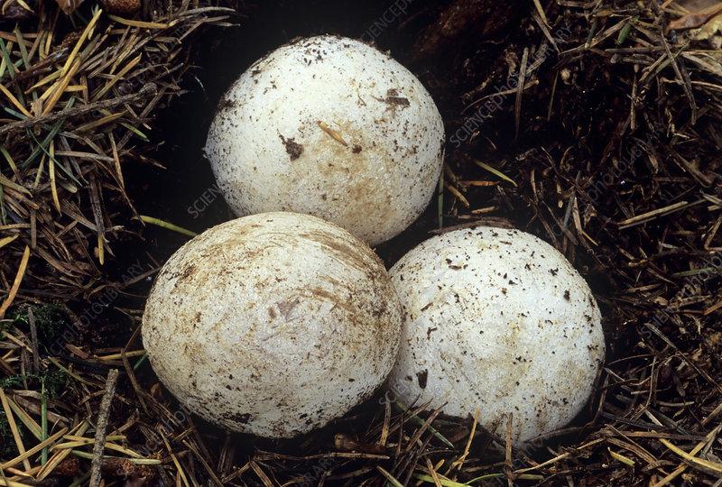 Stinkhorn fungi