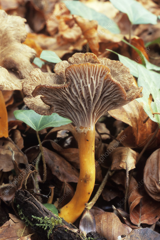Funnel chanterelle mushrooom
