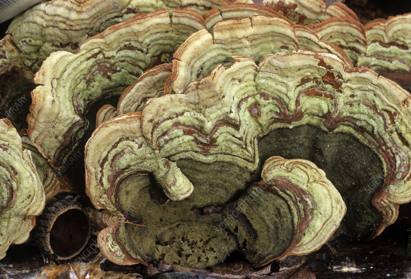Many-coloured polypore fungi