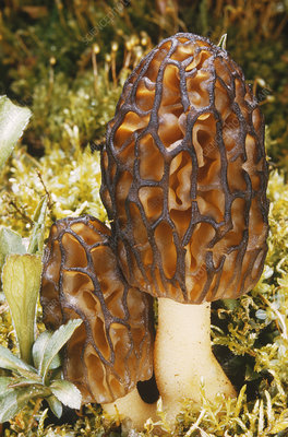 Morel (Morchella angusticeps)