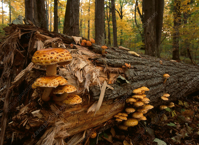 Golden Pholiota