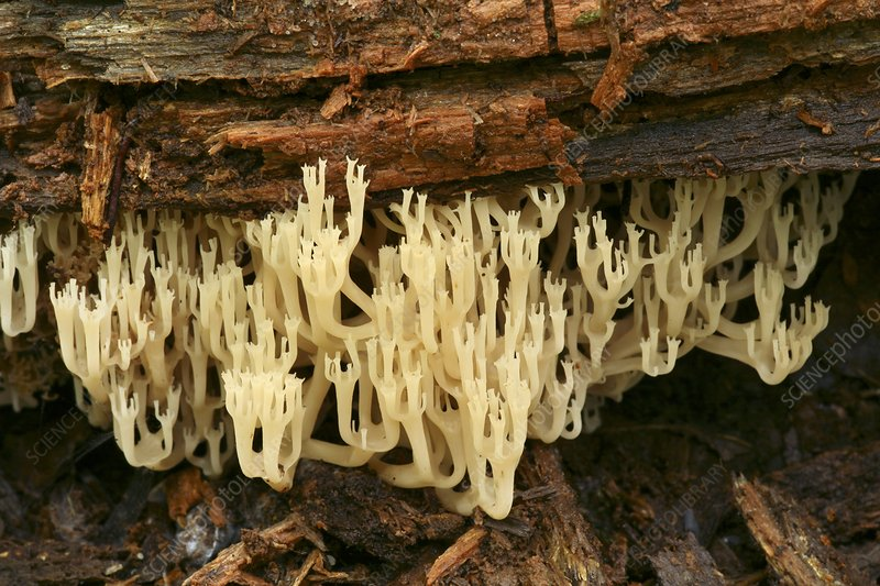 Crown coral fungus