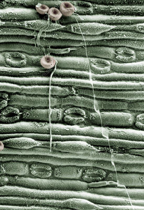 Fungal spores on a lemon grass leaf, SEM