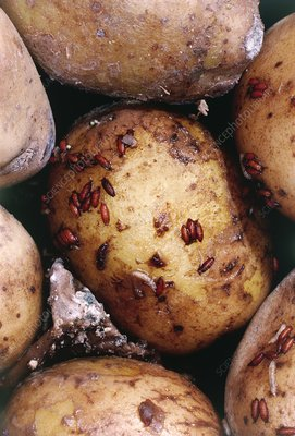 Fruit fly larvae infesting a potato