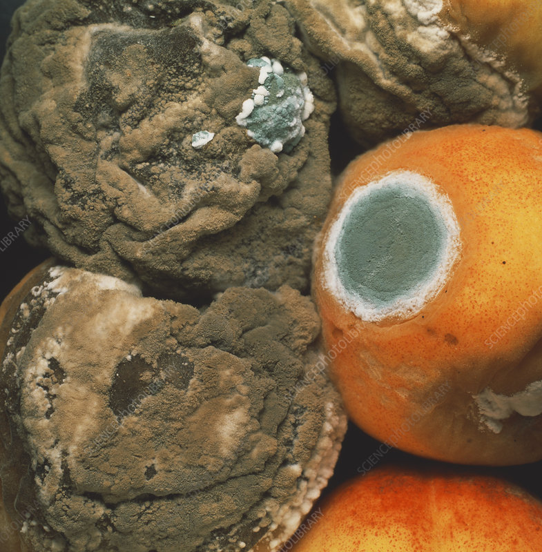 Peaches covered in fungal growth
