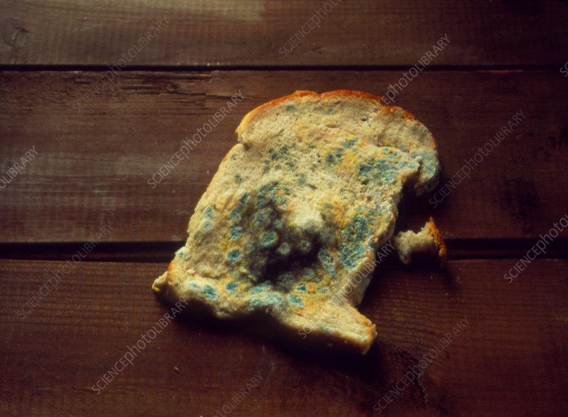 decay of bread The process of decay of a piece of bread cream cheese bread time lapse - продолжительность: 1:22 temponaut timelapse 70 235 просмотров.