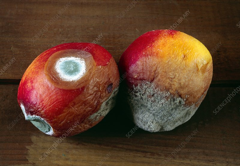 Mouldy nectarines