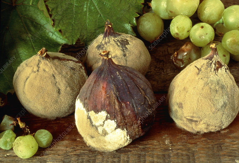 Rotting & mouldy figs