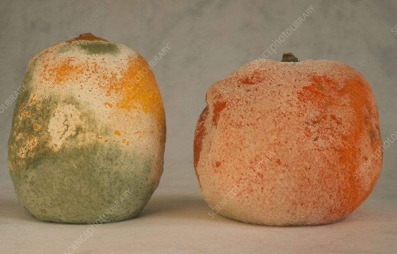 Mould on rotting orange and lemon