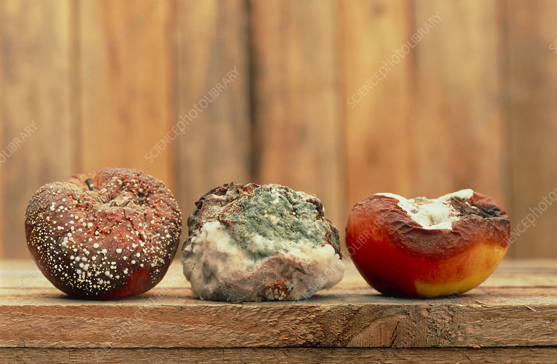 Three rotting apples covered with mould