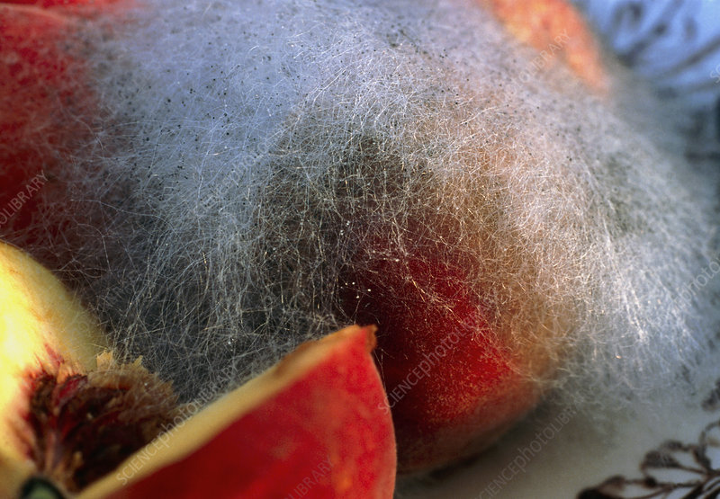 Mould growing on a peach