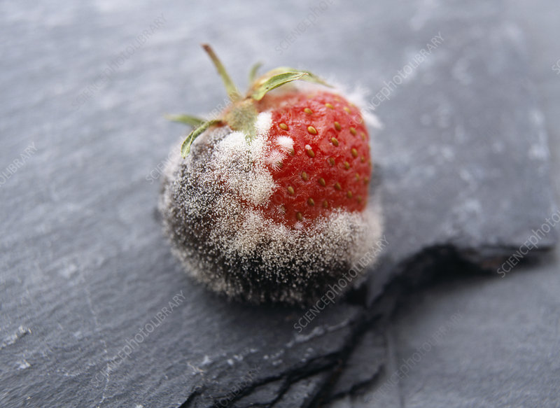 Mouldy strawberry