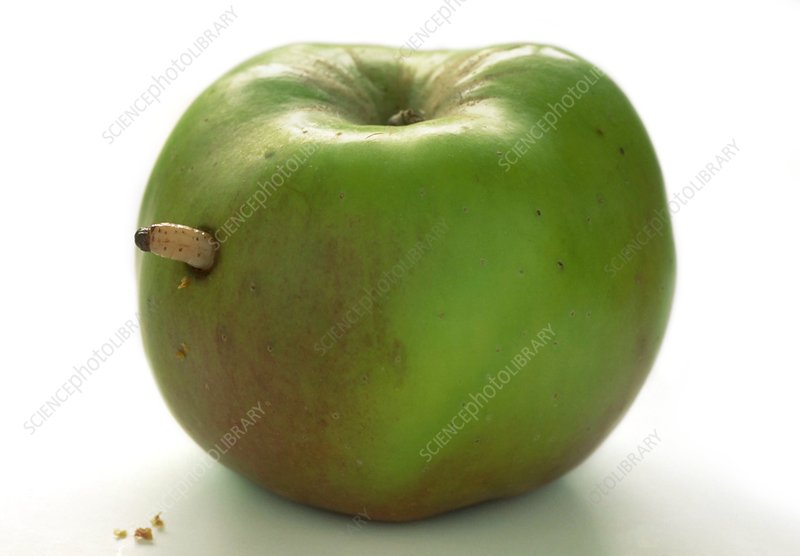 Maggot emerging from apple