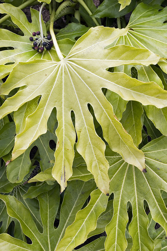 Chlorosis in fatsia leaves