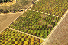 Vineyard affected by Phylloxera disease