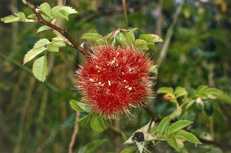 Bedeguar gall of the gall wasp