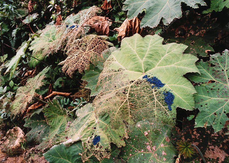Beetles attacking Gunnera sp. leaves