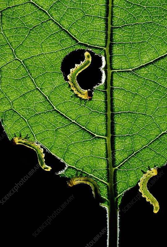 Sawfly caterpillars feeding on leaf