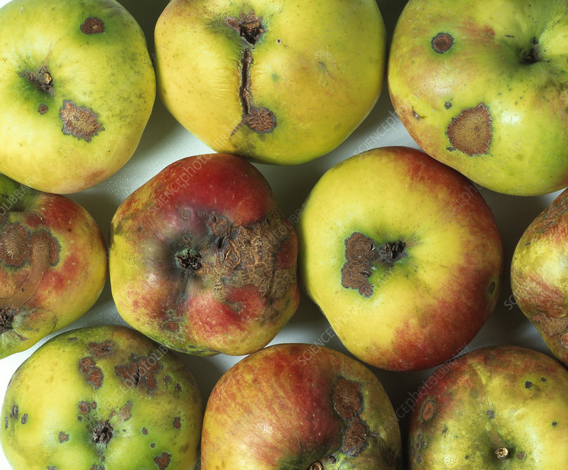 Apple scab fungus infection