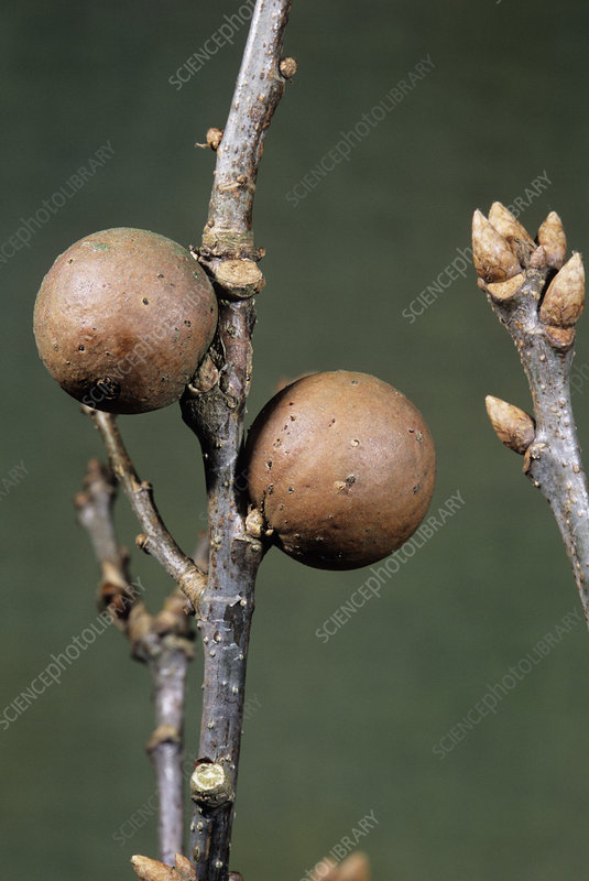 Marble galls on common oak tree