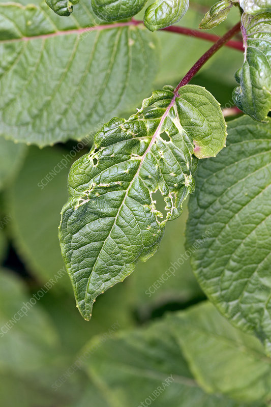 Fuchsia leaves damaged by capsid bugs