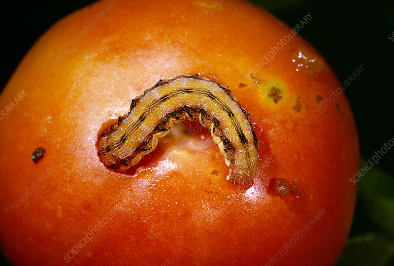 Tomato fruitworm feeding on a tomato