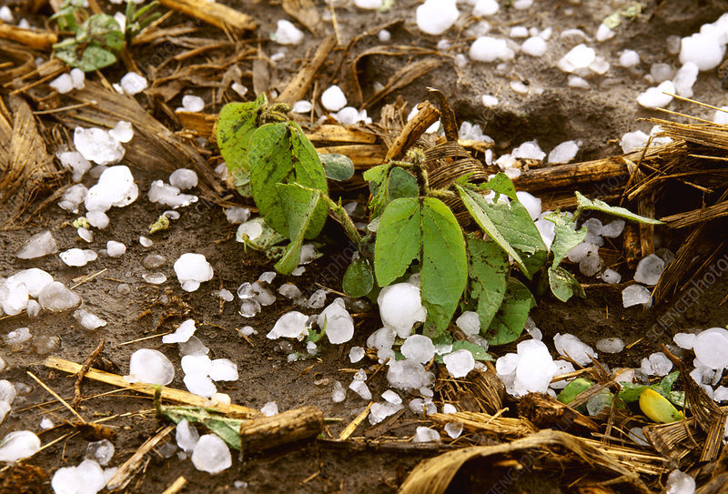 Hail damaged soybean plants
