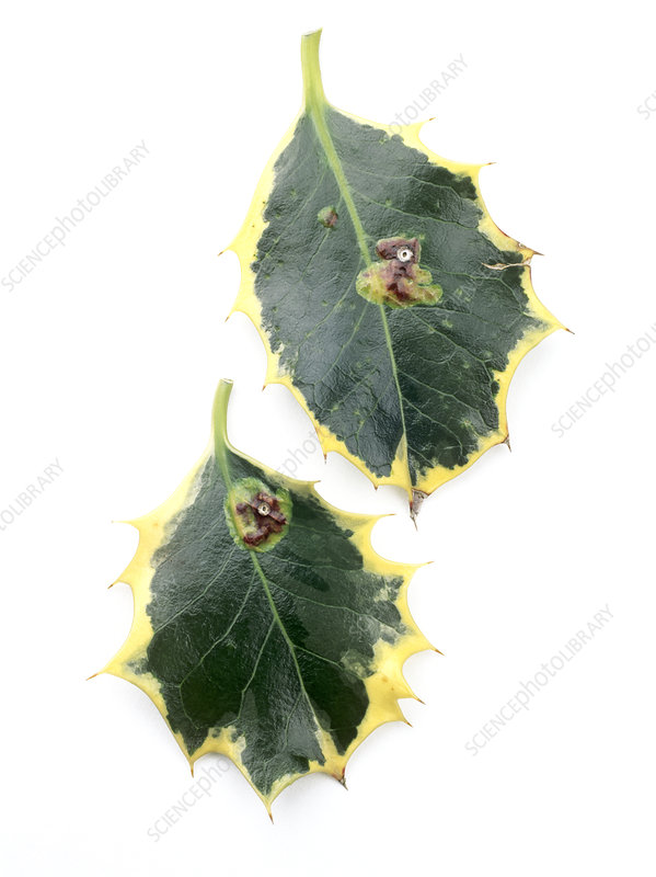 Holly leaf miner