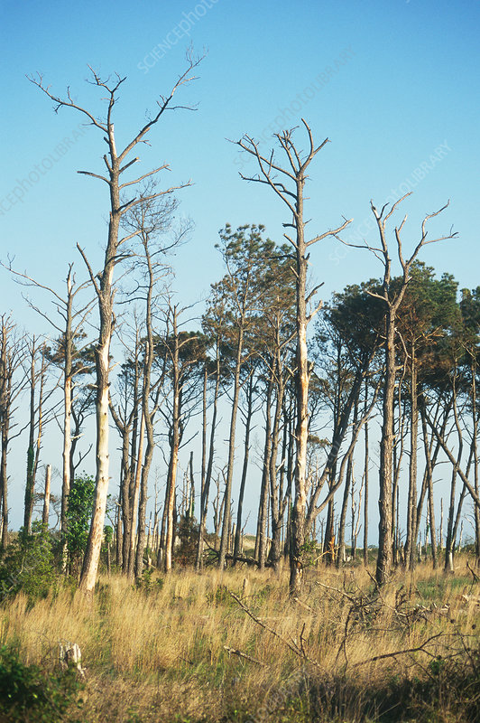 Pines killed by Southern Pine Beetle