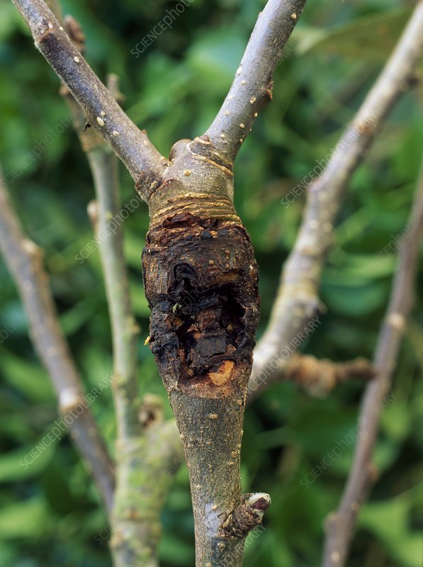 Fungal canker on apple branch